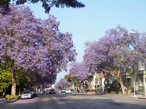 trees with purple flowers del mar blvd 1